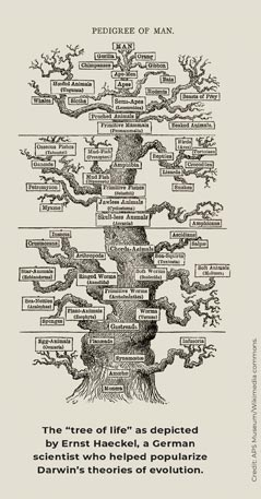 Haeckel's tree of life drawing